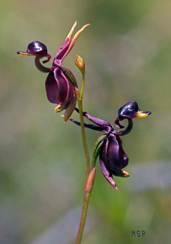 Flying Duck Orchid, Caleana major