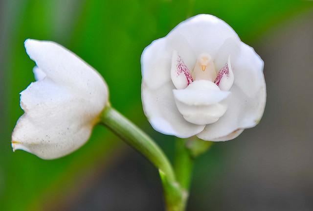 Dove Orchid, Peristeria elata