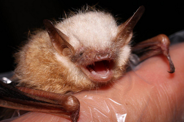 happiest bat, tri-colored bat, Perimyotis subflavus (5)