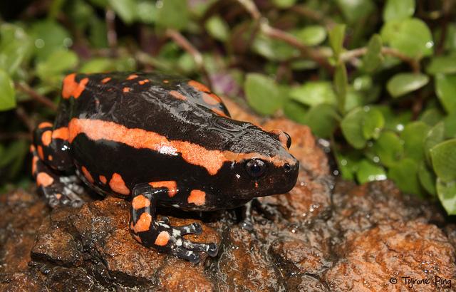 banded rubber frog, Phrynomerus bifasciatus