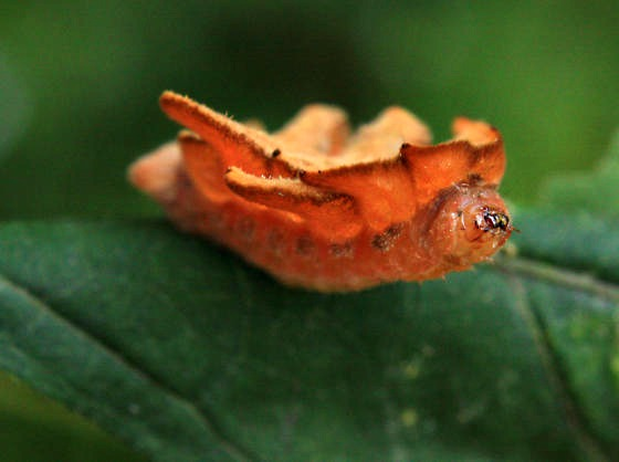 hag moth caterpillar, Phobetron pithecium