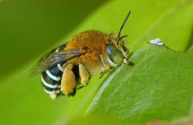 Amegilla cingulata, Blue-banded bee