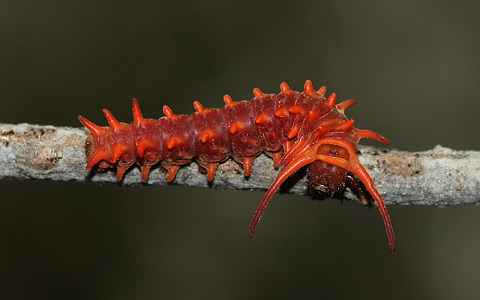 pipevine swallowtail, Battus philenor, caterpillar