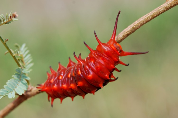 Pipevine Swallowtail Caterpillars Look Just Like Red Licorice!