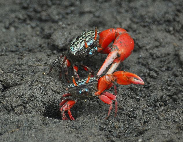 Uca crassipes, watermelon fiddler crab (6)