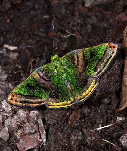 green mantle butterfly, Caria castalia
