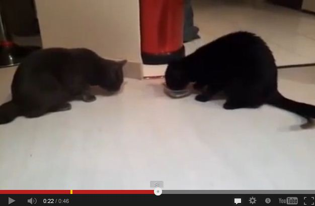Two Sweet Kitties Share Tiny Food Dish