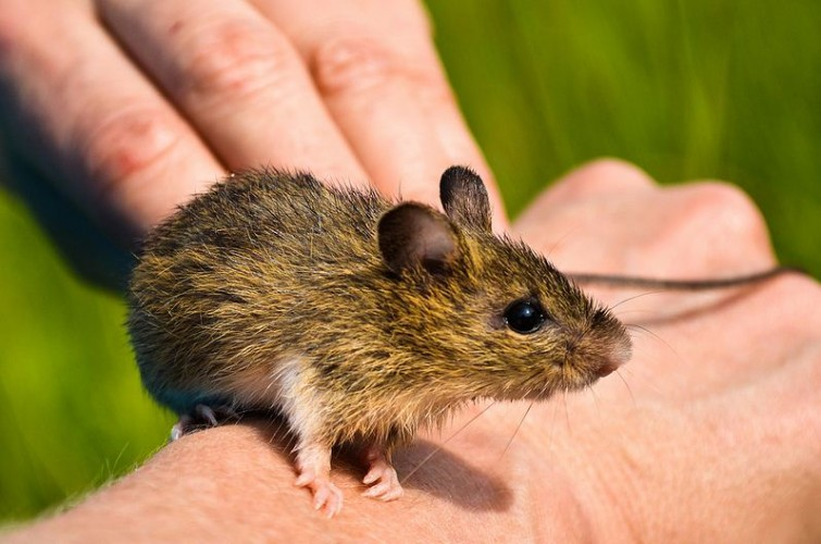 The Meadow Jumping Mouse Has Kangaroo-style Jumping Skillz