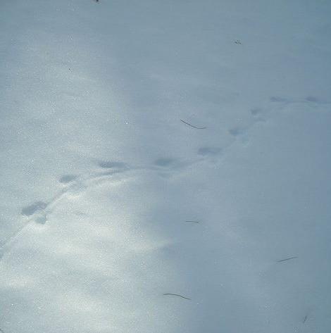 meadow jumping mouse, Zapus hudsonius, tracks