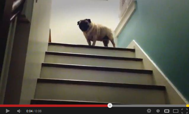 Pug Hops Up 'Hot Lava' Stairs