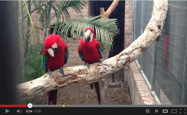 Scarlet Macaws Dance Their Tail Feathers Off to Some Rap