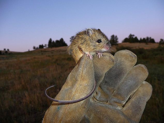 meadow jumping mouse, Zapus hudsonius