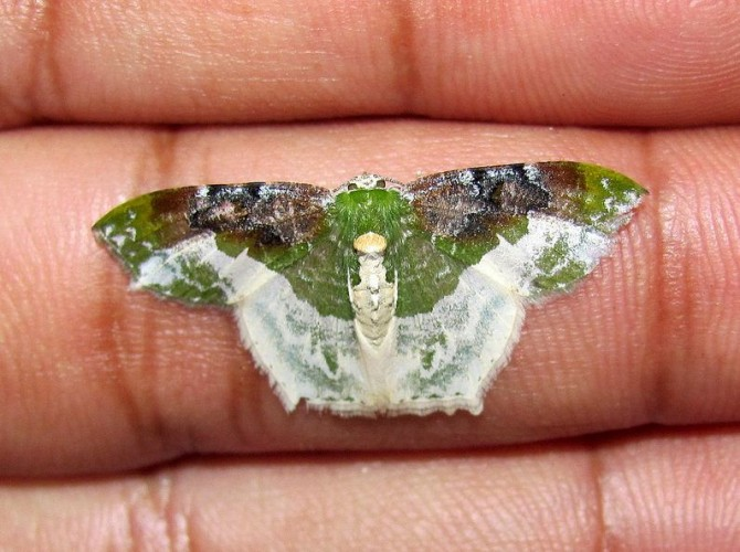 This Moth Carries The Weight of the World On Its Shoulders!