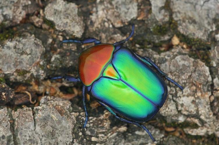 splendid scarabs, Protaetia speciosa jousselini