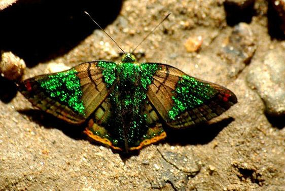green mantle butterfly, Caria mantinea