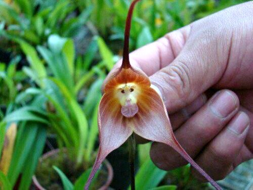 monkey face orchid, Dracula simia (2)