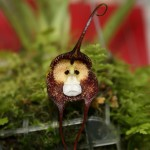 Monkey Orchid and 5 Other Amazing Animal Orchids!