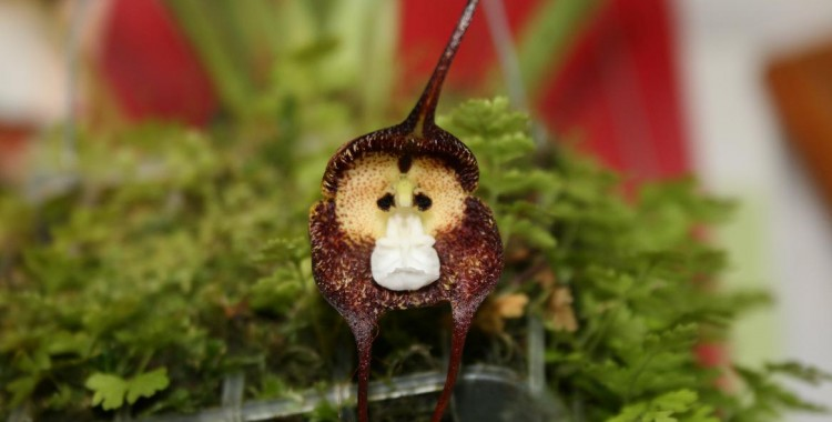 monkey face orchid, Dracula simia (1)