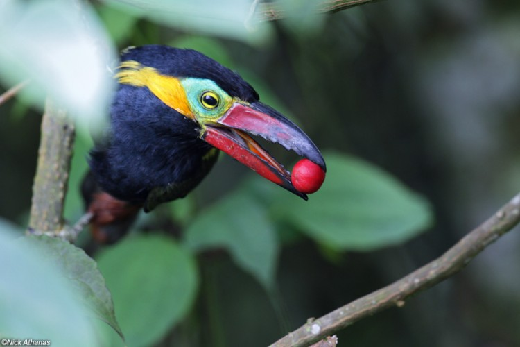 The Golden-collared Toucanet Will Most Certainly Put a Smile On Your Face