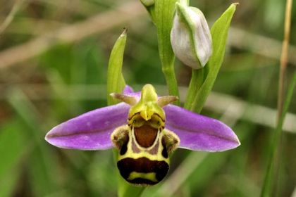 bee orchid, Ophrys apifera