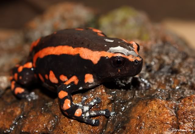 Banded Rubber Frogs Are Quite the Interesting Amphibians | Featured ...