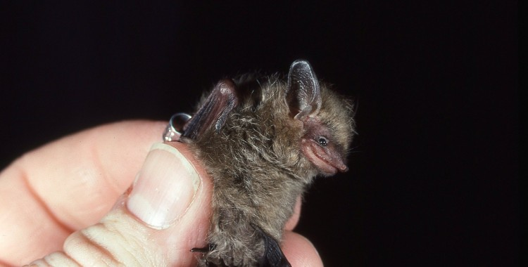 happiest bat, tri-colored bat, Perimyotis subflavus (2)