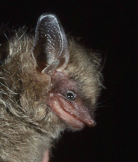 happiest bat, tri-colored bat, Perimyotis subflavus (1)