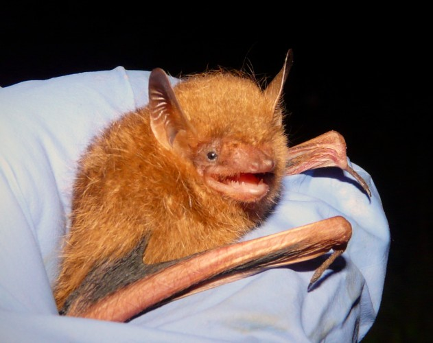 happiest bat, tri-colored bat, Perimyotis subflavus (3)