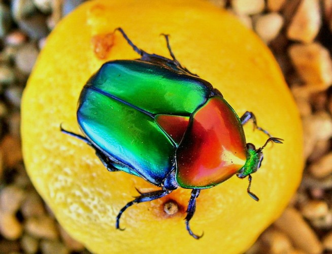 Splendid Scarabs Are Living Gleaming Queensland Opals