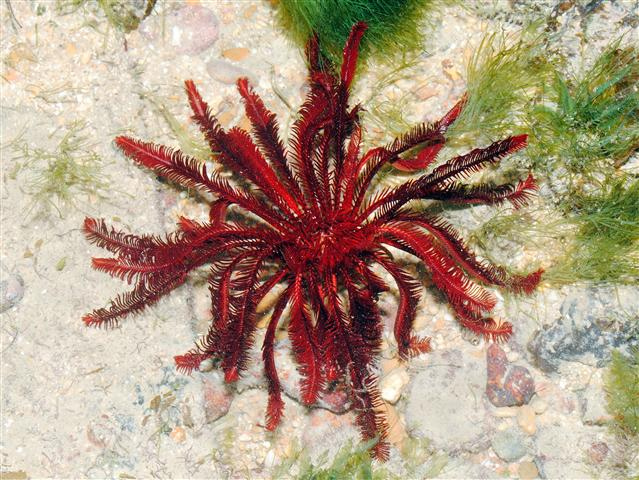 feather starfish, Himerometra Robustipinna (1)