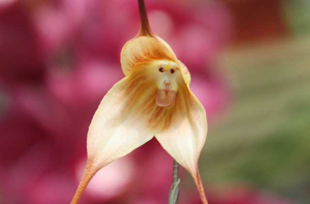 monkey face orchid, Dracula simia (3)