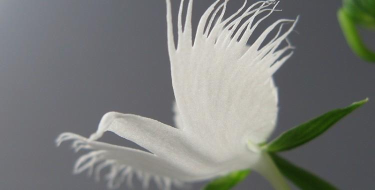 white egret orchid, Habenaria radiata