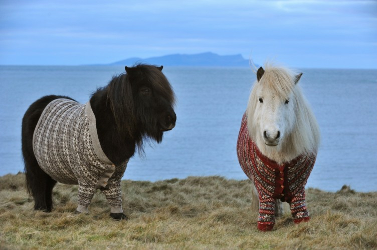 shetland ponies wearing sweaters (5)