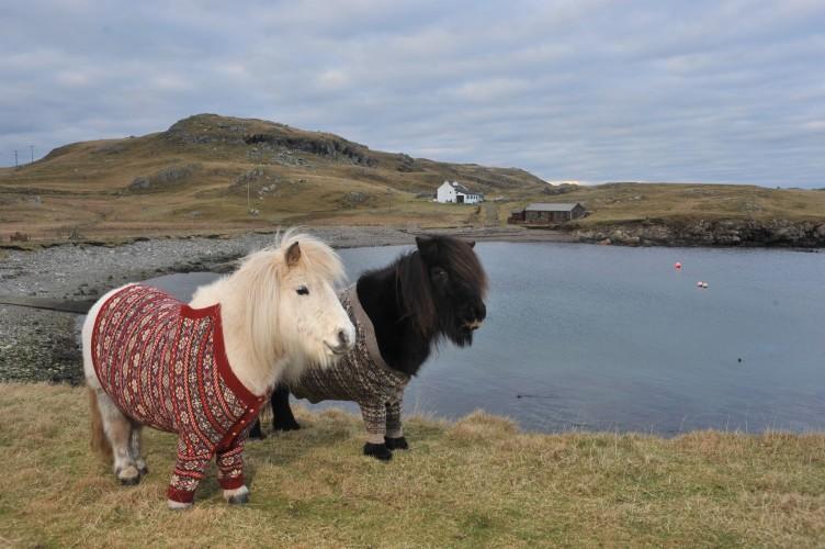 shetland ponies wearing sweaters (4)