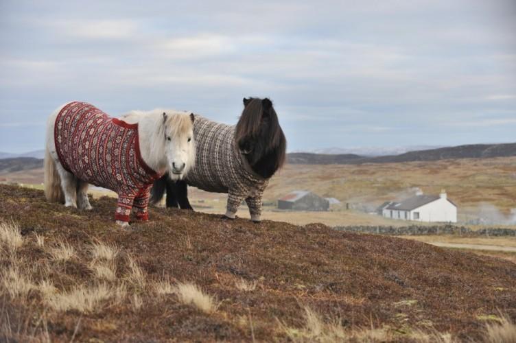 shetland ponies wearing sweaters (3)
