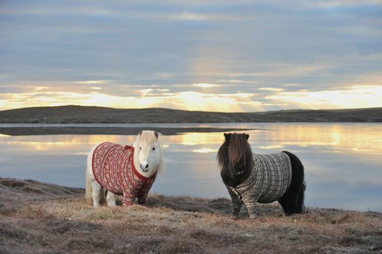 Shetland Ponies Wearing Sweaters? Guess I'm Off to Scotland!