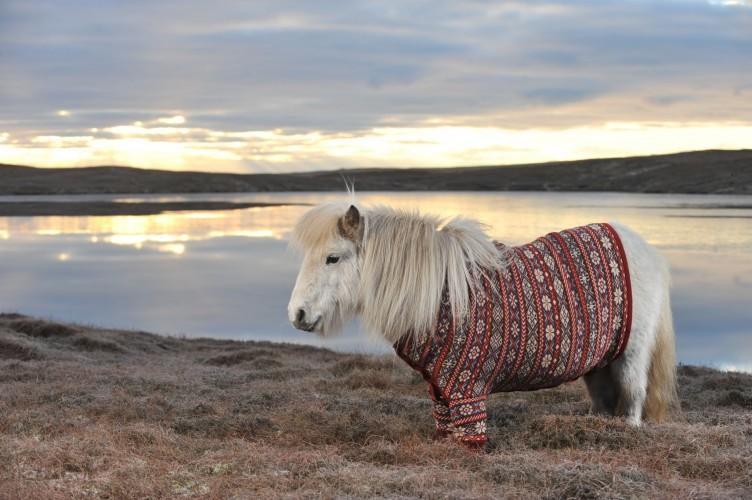 shetland ponies wearing sweaters (1)