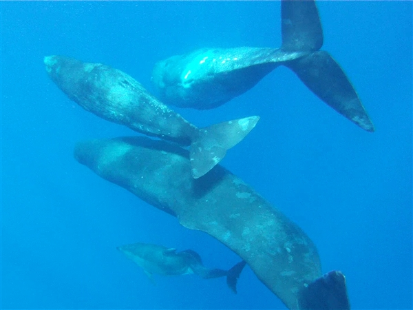 Sperm Whales Adopt Deformed Dolphin Into The Gang