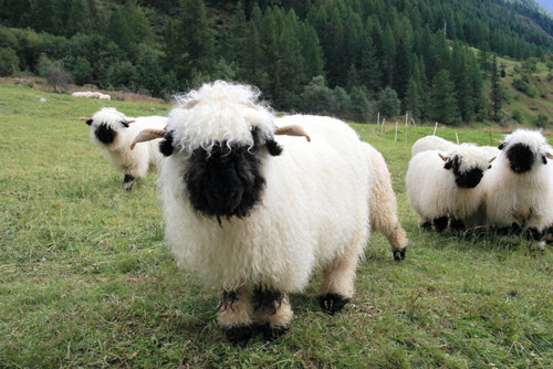 Valais Blacknose Sheep (4)