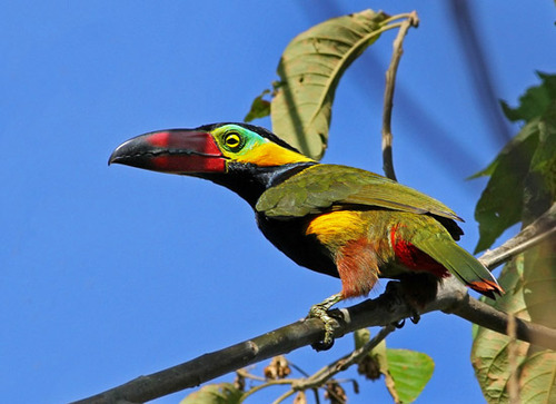 golden-collared toucanet, Selenidera reinwardtii