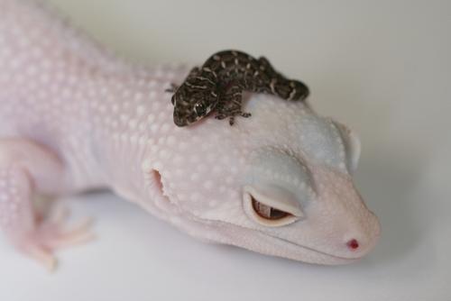 carrot-tail viper gecko (1)