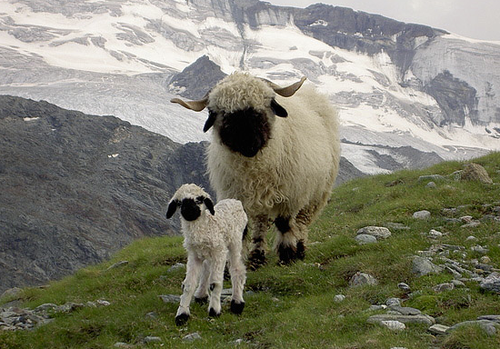 Valais Blacknose Sheep (3)