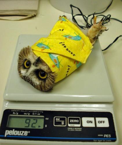 bird burrito, owl