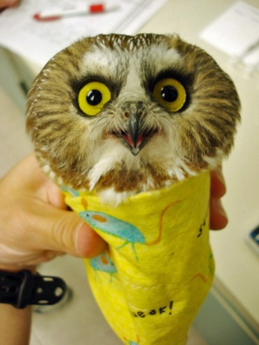 Bird Burritos: Weighing of Owls Is the Cutest Thing Ever!