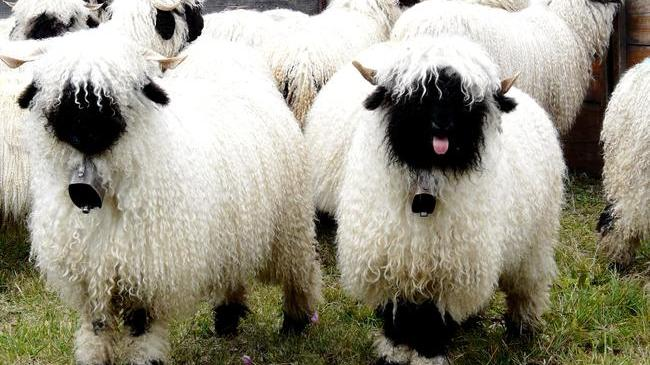 Valais Blacknose Sheep (2)