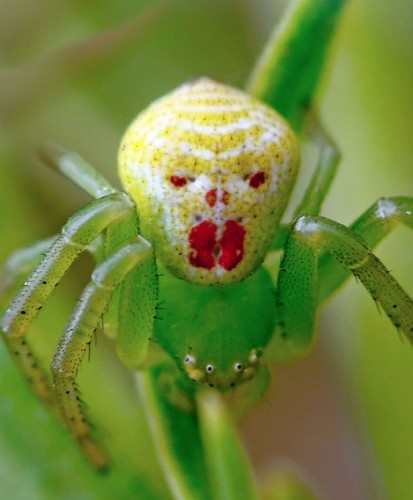 clown spider