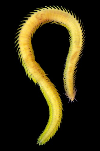 chinese dragon wor, Phyllodoce citrina
