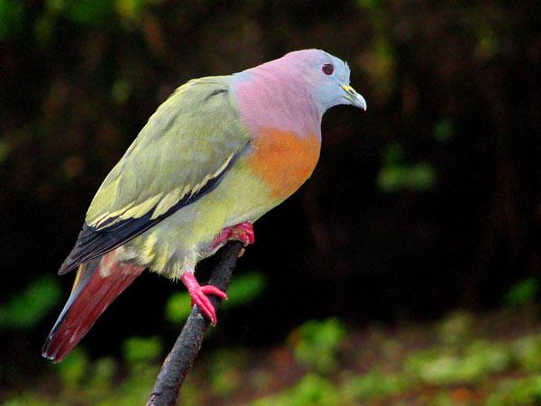 pink-necked green pigeon, Treron vernans (4)