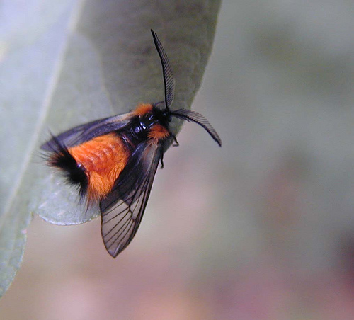 woolly bear moth, Pryeria sinica