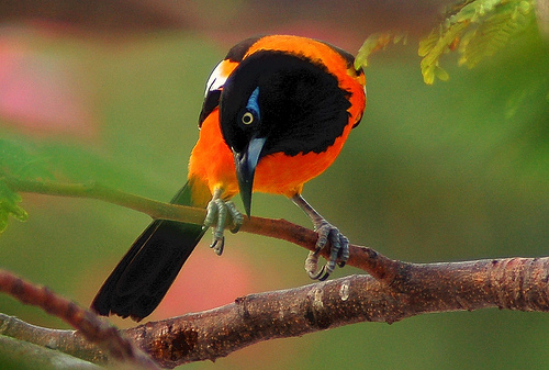 orange-backed troupial, Icterus croconotus (4)